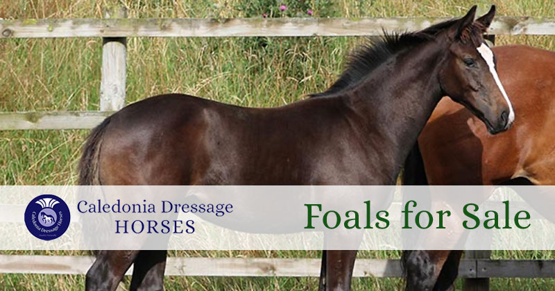 Foals for Sale in the UK
