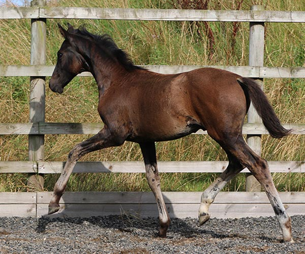 Horses Foals For Sale UK
