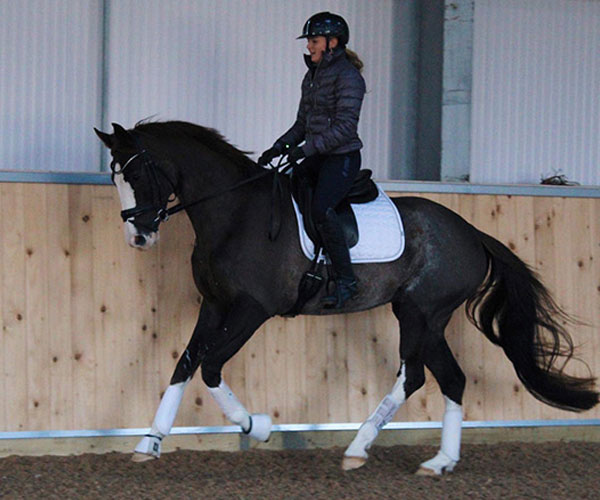 Brood mare For sale UK