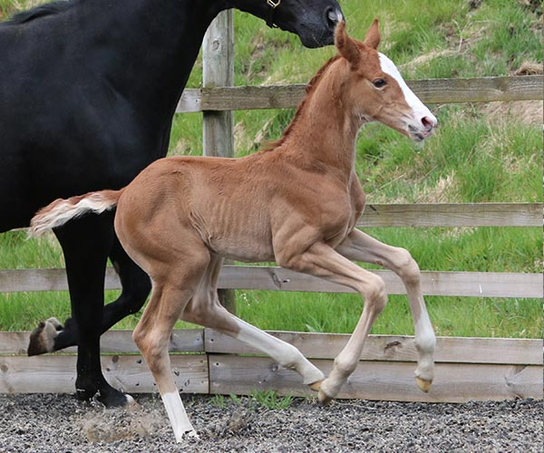 filly horse uk