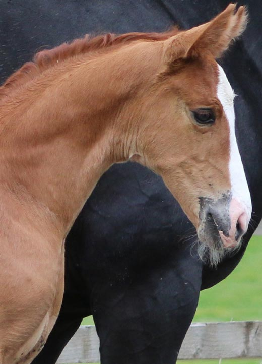 filly horse uk