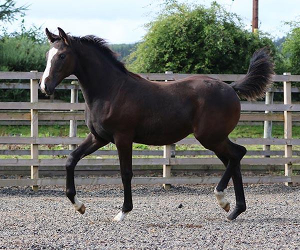 Foal For sale UK