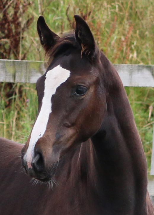 Foal For sale UK
