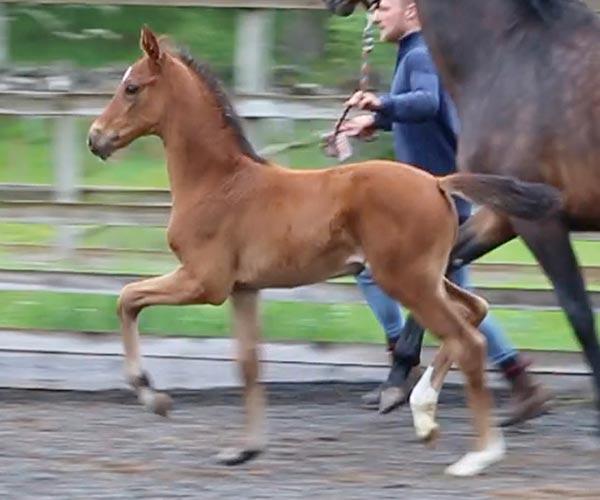 filly horses Uk