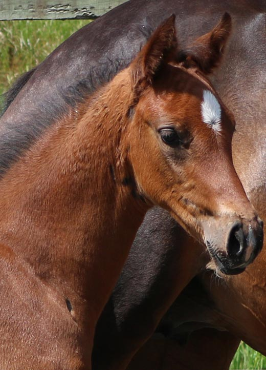filly horses Uk