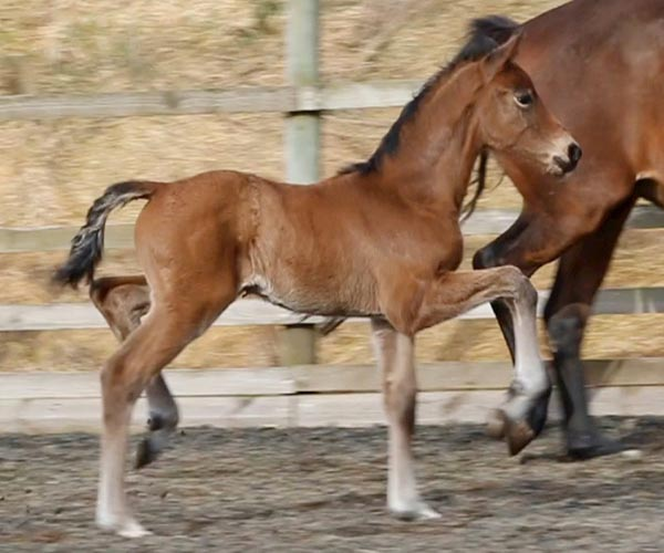 Filly in Scotland for sale