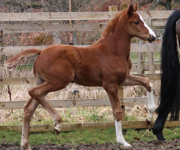 Scotland UK Filly for sale