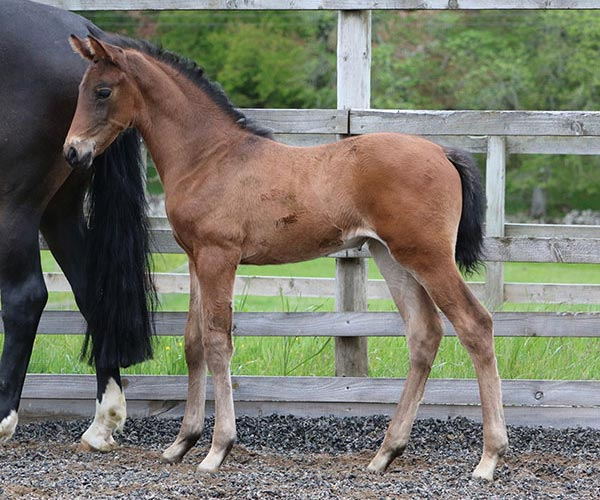 Uk Horses for sale