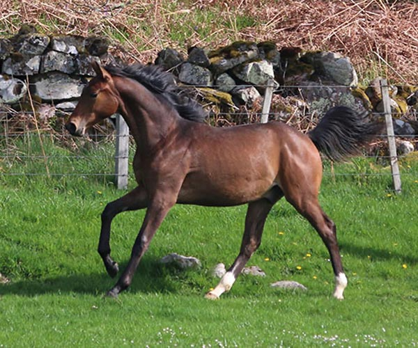 Gelding for sale uk