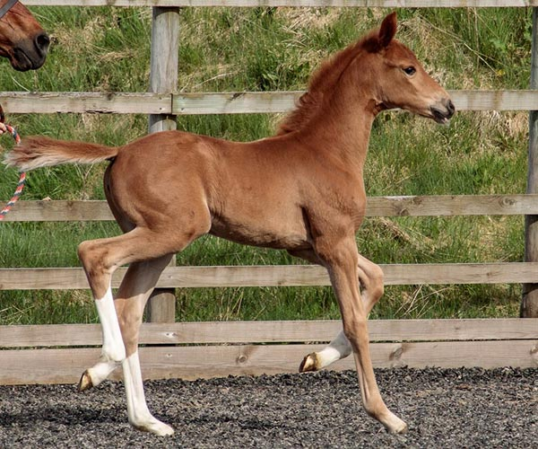 Filly horses in Scotland