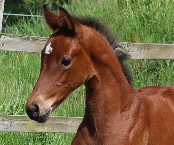 filly for sale uk