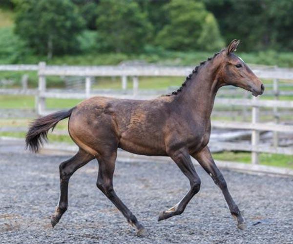 filly horses in UK