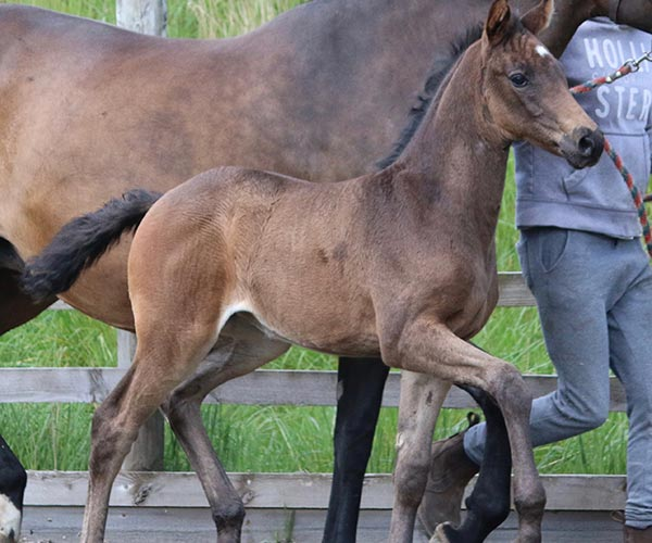Filly Horse for sale UK