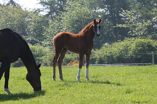 uk foals for sale